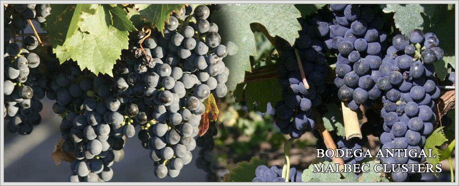 Bodega Antigal Malbec Clusters